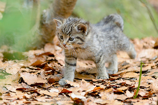 CAT 03 AC0014 01 © Kimball Stock Common Wildcat Kitten Walking In Bavarian Forest, Germany