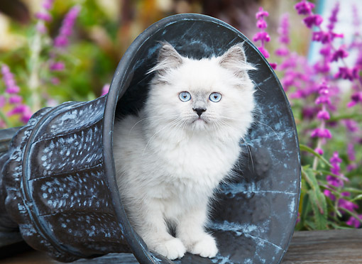 CAT 03 BK0004 01 © Kimball Stock White Kitten Sitting In Flower Pot In Garden
