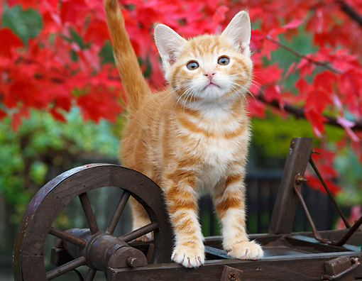 CAT 03 BK0009 01 © Kimball Stock Orange Kitten Standing On Miniature Wooden Wheelbarrow By Autumn Leaves