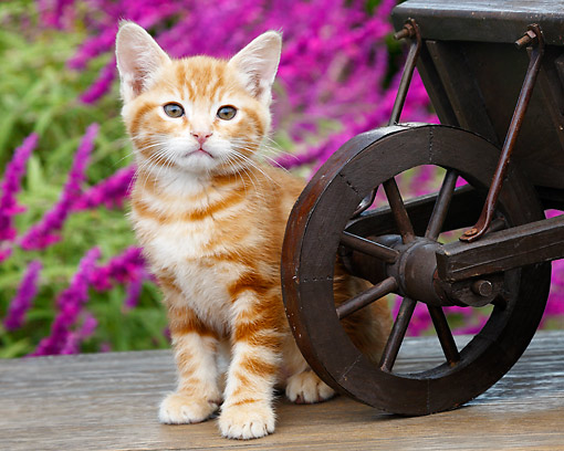 CAT 03 BK0010 01 © Kimball Stock Orange Kitten Sitting By Miniature Wooden Wheelbarrow By Pink Blossoms