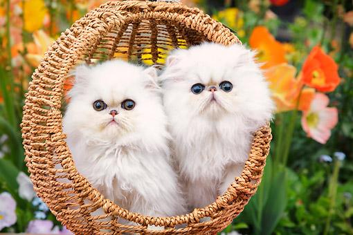 persian kitten - Animal Stock Photos - Kimballstock