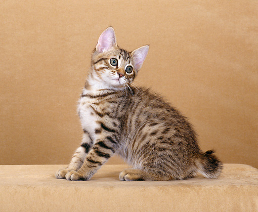CAT 03 CH0001 01 © Kimball Stock American Bobtail Brown Tabby Kitten Sitting In Studio