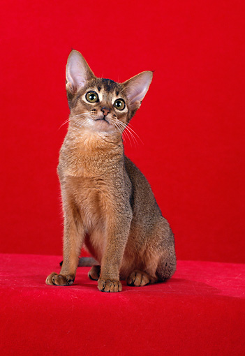 CAT 03 CH0006 01 © Kimball Stock Ruddy Abyssinian Kitten Sitting In Red Studio
