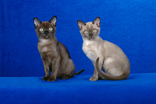 CAT 03 CH0010 01 © Kimball Stock Sable And Champagne Burmese Kittens Sitting In Blue Studio