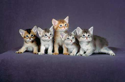 CAT 03 CH0011 01 © Kimball Stock Five Blue, Red And Ruddy Abyssinian Kittens Sitting In Purple Studio