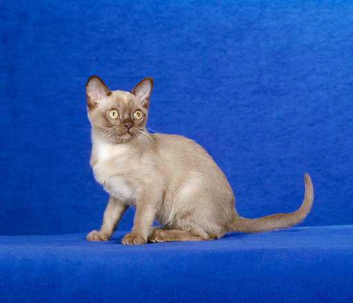 CAT 03 CH0016 01 © Kimball Stock Burmese Kitten Sitting In Blue Studio