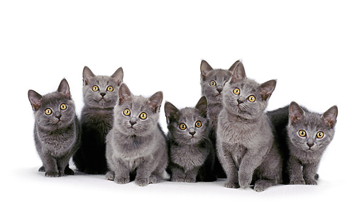 CAT 03 CH0017 01 © Kimball Stock Group Of Chartreux Blue Kittens Sitting In Studio