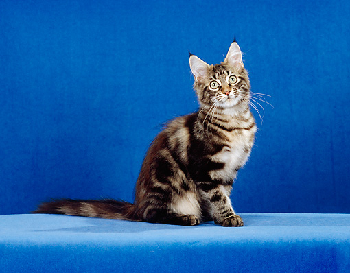 CAT 03 CH0019 01 © Kimball Stock Maine Coon Brown Classic Tabby Kitten Sitting In Blue Studio
