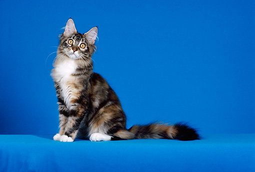 CAT 03 CH0022 01 © Kimball Stock Maine Coon White Torbie Kitten Sitting In Blue Studio