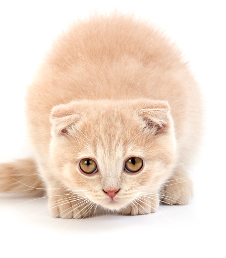CAT 03 GL0004 01 © Kimball Stock Cream Scottish Fold Kitten Crouching On White Seamless