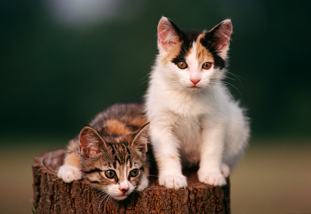 CAT 03 GR0023 01 © Kimball Stock Two Calico Kittens On Tree Stump