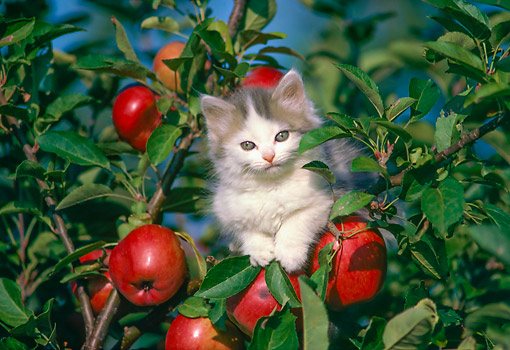 gray and white kitten sitting in apple tree kimballstock. Black Bedroom Furniture Sets. Home Design Ideas
