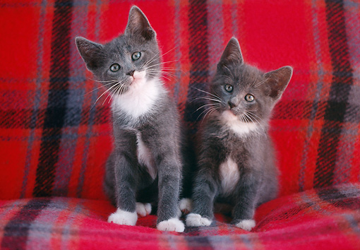 CAT 03 GR0027 02 © Kimball Stock Two Gray And White Kittens On Red Plaid Blanket