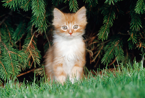 CAT 03 GR0064 01 © Kimball Stock Orange And White Kitten Sitting On Grass By Pine Trees