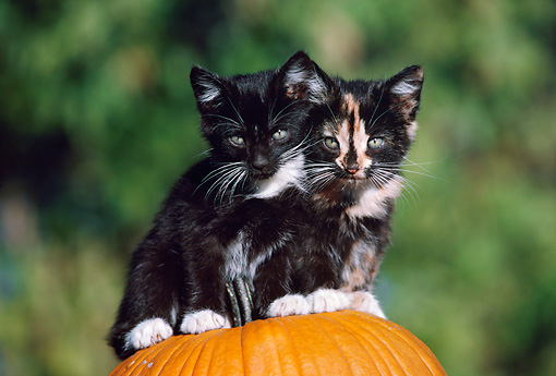 CAT 03 GR0091 01 © Kimball Stock Calico And Black Kittens Sitting On Top Of Pumpkin