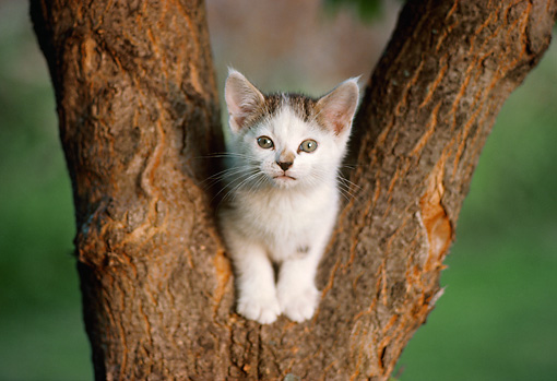 CAT 03 GR0117 01 © Kimball Stock White And Brown Kitten Sitting In Fork Of Tree