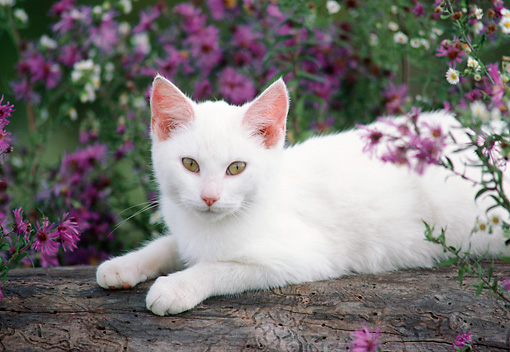 CAT 03 GR0256 01 © Kimball Stock White Kitten Laying On Log By Flowers