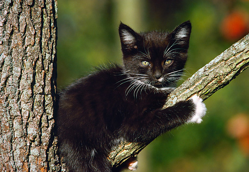 CAT 03 GR0300 01 © Kimball Stock Black Kitten In Fork Of Tree