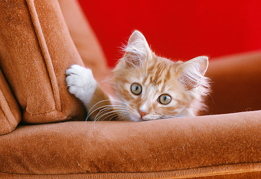 CAT 03 GR0394 02 © Kimball Stock Head Shot Of Orange And White Kitten On Armchair
