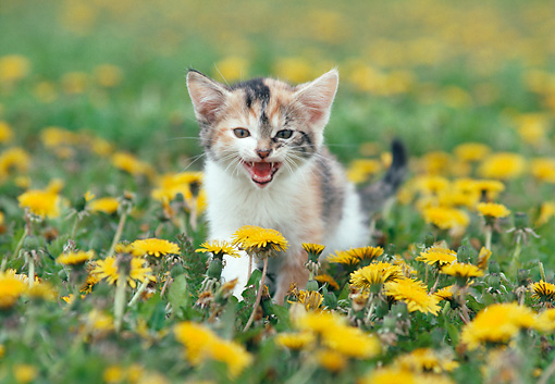 CAT 03 GR0493 02 © Kimball Stock Calico Kitten In Yellow Flower Field