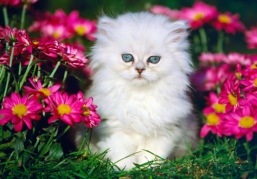 CAT 03 GR0504 02 © Kimball Stock Shaded Silver Persian Kitten On Grass By Flowers