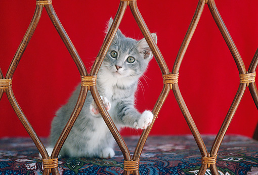 CAT 03 GR0547 01 © Kimball Stock Gray And White Kitten Looking Through Chair