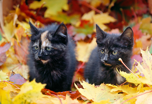 CAT 03 GR0623 07 © Kimball Stock Two Calico Kittens In Fall Leaves