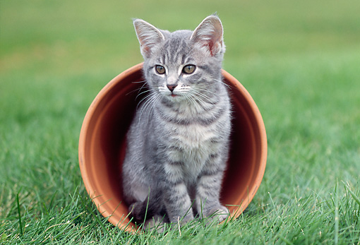 CAT 03 GR0685 01 © Kimball Stock Gray Tabby Kitten Sitting In Fallen Flower Pot