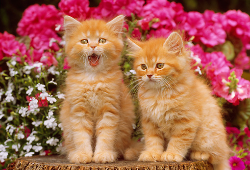 CAT 03 GR0735 01 © Kimball Stock Orange And White Tabby Kittens Sitting On Tree Stump By Flowers