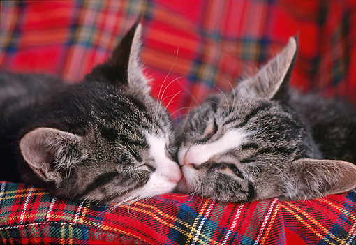 CAT 03 GR0891 01 © Kimball Stock Close Up Of Two Gray And White Tabby Kittens Sleeping On Plaid Blanket