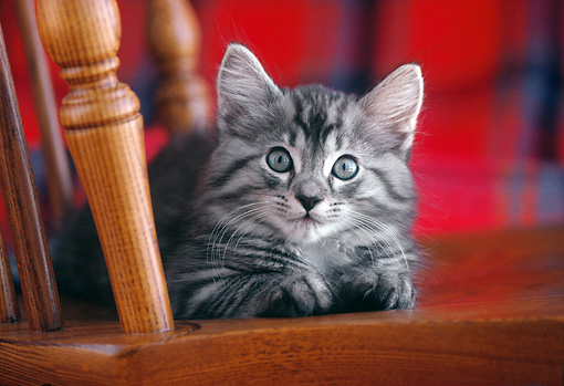 CAT 03 GR0895 01 © Kimball Stock Gray And White Tabby Cat Kitten Laying On Wood Chair