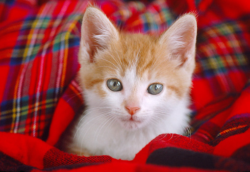 CAT 03 GR0898 01 © Kimball Stock Close-Up Of Orange And White Tabby Kitten Laying On Red Plaid Blanket