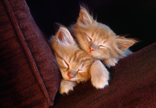CAT 03 GR0900 01 © Kimball Stock Orange And White Tabby Cat Kittens Sleeping Between Maroon Colored Cushions