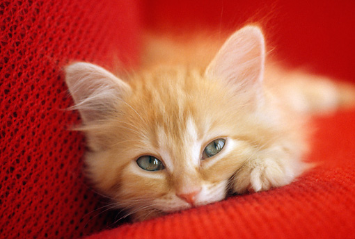 CAT 03 GR0913 01 © Kimball Stock Head Shot Of Orange Tabby Kitten Laying On Red Cushion