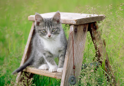 CAT 03 GR0932 01 © Kimball Stock Gray And White Kitten Sitting On Step Ladder In Tall Grass