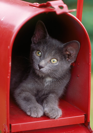CAT 03 GR0935 01 © Kimball Stock Gray Kitten Laying Inside Red Mailbox