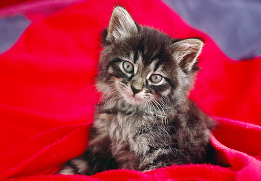 CAT 03 GR0951 01 © Kimball Stock Close-Up Of Tabby Kitten Sitting On Red Blanket