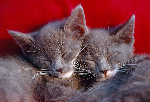 CAT 03 GR0957 01 © Kimball Stock Close-Up Of Two Gray Kittens Sleeping On Red Blanket