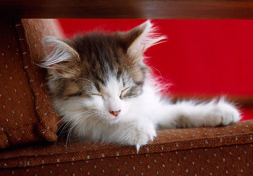 CAT 03 GR0963 01 © Kimball Stock Close-Up Of Kitten Sleeping On Chair