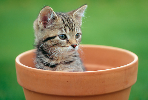 CAT 03 GR0965 01 © Kimball Stock Close-Up Of Kitten Sitting In Flower Pot