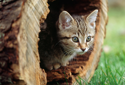 CAT 03 GR0966 01 © Kimball Stock Close-Up Of Tabby Kitten Hiding In Hollow Log