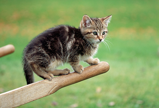 CAT 03 GR0967 01 © Kimball Stock Tabby Kitten Balancing On Arm Of Wheelbarrow