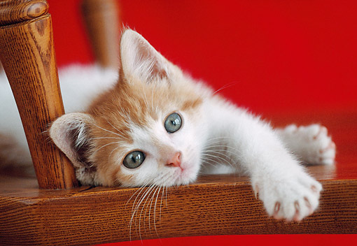 CAT 03 GR0983 01 © Kimball Stock Orange And White Kitten Laying On Wooden Chair