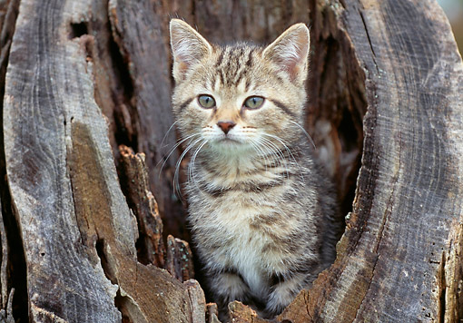 CAT 03 GR0988 01 © Kimball Stock Kitten Sitting In Hollow Of Tree