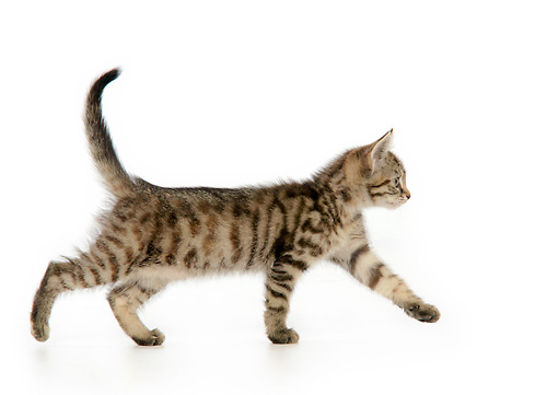 CAT 03 JD0006 01 © Kimball Stock Torbie Kitten Walking On White Seamless Profile