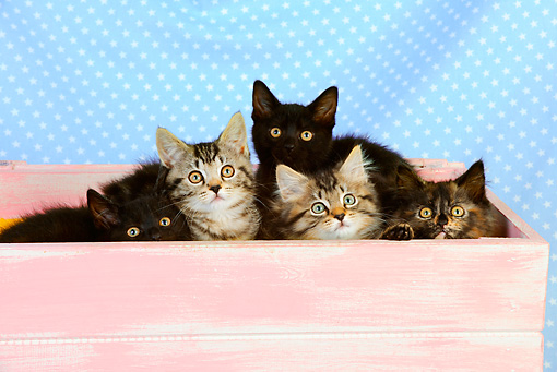 CAT 03 JD0008 01 © Kimball Stock Group Of Kittens Sitting In Pink Box