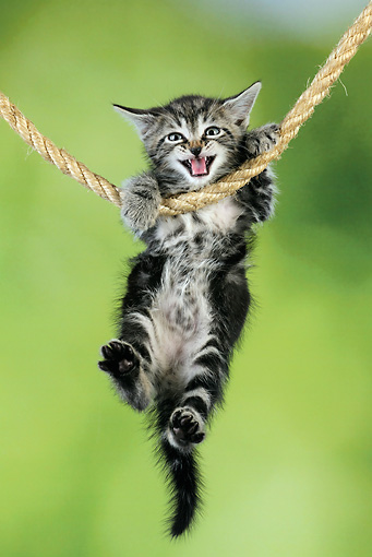 CAT 03 JD0010 01 © Kimball Stock Tabby Kitten Hanging On Rope Meowing