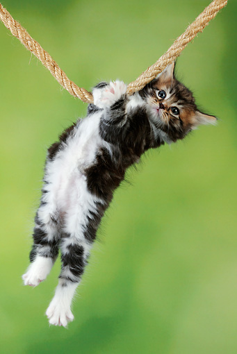 CAT 03 JD0012 01 © Kimball Stock Tabby And White Kitten Hanging On Rope