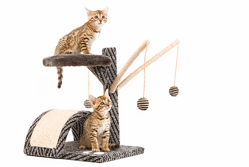 CAT 03 JE0005 01 © Kimball Stock Two Bengal Kittens Sitting On Scratching Post Seamless