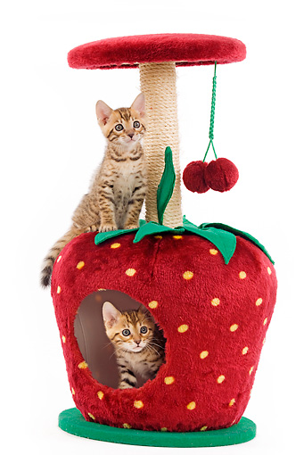 CAT 03 JE0006 01 © Kimball Stock Two Bengal Kittens Sitting On Strawberry Scratching Post Seamless
